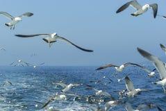 Menge von den Seemöwen, die über das Schiff fliegen Lizenzfreie Stockfotos