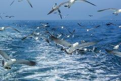 Menge von den Seemöwen, die über Meer hinter das Schiff fliegen Lizenzfreie Stockfotografie