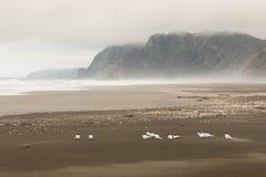 Menge von den Seeschwalben, die auf Karekare stillstehen, setzen auf den Strand Lizenzfreies Stockbild