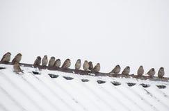 Menge von den Spatzen, die auf dem Dach sitzen Stockfotografie