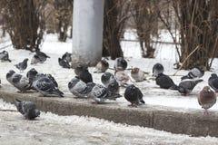 Menge von den Tauben, die auf gefrorenem Schnee auf Straße sitzen lizenzfreie stockfotos
