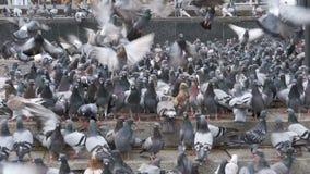 Menge von den Tauben, die draußen Brot in der Stadt-Straße essen stock video footage
