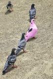 Menge von den Tauben, die durchaus eine Verwirrung machen Lizenzfreie Stockfotos