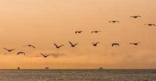 Menge von den Vögeln, die in einen Dämmerung Himmel über dem Pazifischen Ozean in San Francisco Bay fliegen lizenzfreies stockfoto
