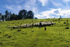 Menge von den weißen Schafen, die in einer Wiese an einem sonnigen Tag weiden lassen Stockfotografie