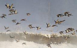 Menge von den Wildenten, die in Nebel fliegen lizenzfreie stockbilder