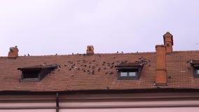 Menge von den Wildtauben, die auf einem mit Ziegeln gedeckten Dach sitzen stock video footage