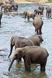Menge von Elefanten im Fluss Stockfotografie