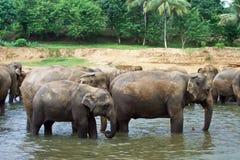 Menge von Elefanten im Fluss Stockfotos