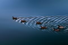 Menge von Enten stockfoto