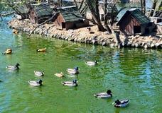 Menge von Enten in einem Teich Stockbild