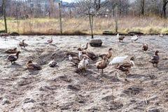 Menge von Enten im Geflügelhof auf Dorf arbeiten im Garten Lizenzfreie Stockbilder