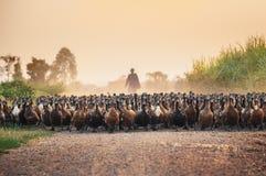 Menge von Enten mit dem Landwirt, der auf Schotterweg in Herden lebt lizenzfreies stockfoto