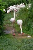 Menge von Flamingos Stockfotos