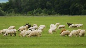 Menge von flaumigen Schafen und von Ziegen, die in der Wiese saftiges vitaminisiertes Gras essend weiden lassen stock video footage