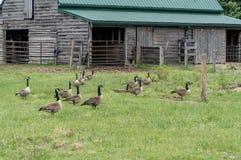 Menge von Gänsen auf dem Bauernhof lizenzfreies stockbild
