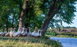 Menge von Gänsen unter Bäumen durch den See Landwirtschaftliche Sommerlandschaft stockfotografie