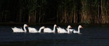 Menge von gooses schwimmend in einem Teich Stockbilder