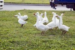 Menge von inländischen weißen Gänsen auf Gras nahe Straße Lizenzfreie Stockbilder