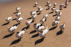 Menge von königlichen Seeschwalben auf einem Florida setzen auf den Strand Stockfotografie