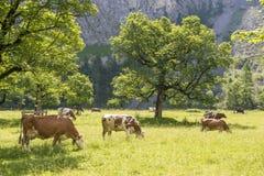Menge von Kühen in den Alpen Stockfoto