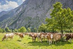 Menge von Kühen in den Alpen Stockbilder