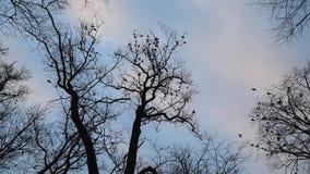 Menge von Krähen auf Baum stock video footage