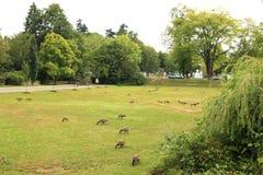 Menge von Loons im Stanley parken Stockfoto