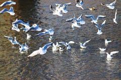Menge von Möven auf dem Flussvogel Stockfotografie
