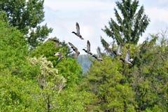 Menge von Nallard-Enten, die in die Luft fliegen lizenzfreie stockfotografie