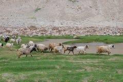 Menge von Pashminas in Ladakh, Indien Lizenzfreie Stockfotos