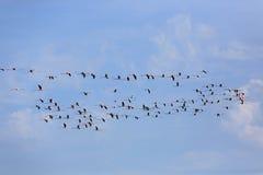 Menge von rosa Flamingos Stockbilder