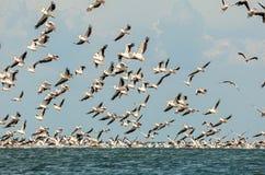 Menge von rosa Pelikanen Stockbild