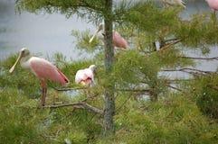 Menge von rosa Spoonbills in Zypresse-Bäumen Lizenzfreies Stockbild