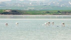 Menge von schönen rosa Flamingos in Larnaka Salt Lake Grüner Hügel und Windmühlen auf Hintergrund stock video