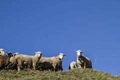 Menge von Schafen Lizenzfreies Stockbild