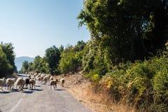 Menge von Schafen blockierte eine Straße zu den Autos Viel lassen Schafe auf einer Wiese des Berges bei Sonnenuntergang von Griec Stockbild