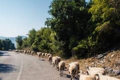 Menge von Schafen blockierte eine Straße zu den Autos Viel lassen Schafe auf einer Wiese des Berges bei Sonnenuntergang von Griec Lizenzfreie Stockfotografie
