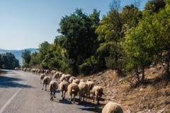 Menge von Schafen blockierte eine Straße zu den Autos Viel lassen Schafe auf einer Wiese des Berges bei Sonnenuntergang von Griec Lizenzfreies Stockfoto