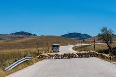 Menge von Schafen blockierte eine Straße zu den Autos Viel lassen Schafe auf einer Wiese des Berges bei Sonnenuntergang von Griec Stockfoto