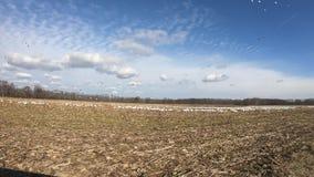 Menge von Schnee-Gänsen auf dem Mais-Gebiet stock video