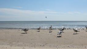 Menge von Seemöwen essen das Lebensmittel auf dem Strand stock footage