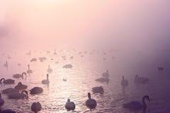 Menge von Singschwänen am nebelhaften See lizenzfreie stockfotografie