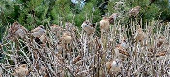 Menge von Spatzen auf dem Busch Stockbilder