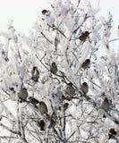 Menge von Spatzen im Winter Stockfoto