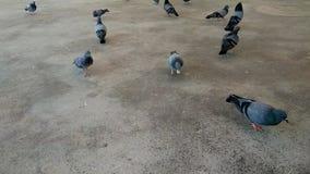 Menge von Tauben auf dem Boden stock footage