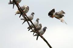 Menge von Tauben auf elektrischem Draht Lizenzfreies Stockbild