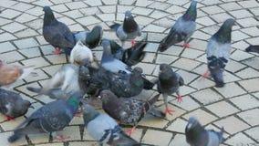 Menge von Tauben im Park stock footage