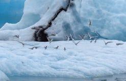 Menge von Vögeln auf dem Eis an der Jokulsarlon-Gletscher-Lagune, Ringstraße, Island lizenzfreie stockbilder