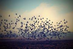 Menge von Vögeln auf einem Gebiet im Herbstmorgennebel Lizenzfreie Stockfotos